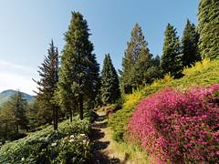 San Grato 062 (MarioVare) Tags: azaleas flowering blossoming ch rhododendrons carona azalee lagodilugano ceresio fioritura cantonticino rododendri montearbostora svizzeraswitzerland parcobotanicosangrato sangratobotanicalpark luganoturismo