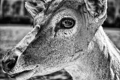 Feed me please! (itsbradders) Tags: park wild blackandwhite bw white black me nature beautiful animal animals brad canon eos is blackwhite amazing nice please vibrant wildlife safari ii 7d feed stm wilderness catchy efs mk colbourne feedmeplease f456 55250mm canonefs55250mmf456isstm bradcolbourne