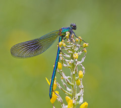 Banded Demoiselle Calopteryx splendens (Ivan Lynas Nature Photography) Tags: