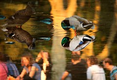 Mirror duck (tresmele) Tags: light people reflection luz water duck agua ducks pato reflejo reflejos patos airelibre