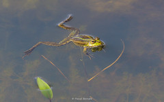 2016-05-06 - 15.39.13 - _L5B2241 - 1 (Rossell' Art) Tags: pad frog toad sapo rana frosch grenouille kikker rano bufo r krte crapaud  rospo doodebemde batracien
