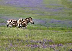 Grazing (Dreamcatcher photos) Tags: flowers green field animal outdoor stripes zebra overberg dreamcatcherphotos