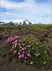 Pink flowers... (mau_tweety) Tags: pink flowers sky snow clouds volcano iceland nuvole cielo neve vulcano arnarstapi islanda snfellsb
