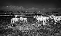 free as the birds (jody9) Tags: horses stormy provence camargue