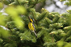 Magnolia Warbler (jd.willson) Tags: nature birds wildlife birding maine magnolia jd warbler willson islesboro jdwillson