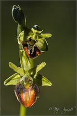 Ophrys sphegodes ssp. sphegodes - 2016 (Pep Aguad) Tags: macro nature nikon natura catalonia orchidaceae orquidea catalunya catalua muntanya baixcamp bosc ophrys contrallum orqudea macrofotografia matinada orqudia ophryssphegodes muntanyesdeprades orquidceas provtarragona macrodeorqudea orqudiasilvestre pepaguad ophryssphegodessspsphegodes