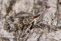 Eudonia mercurella (Ian Redding) Tags: uk nature animal fauna insect european nocturnal wildlife profile moth lepidoptera bark camouflage micro british invertebrate arthropod camouflaged crambidae grassmoth scopariinae eudoniamercurella