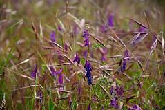(Fede Z.) Tags: park flowers summer parco ticino estate wind fiori viola vento campanule