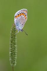 Geiklee-Bluling (Plebejus argus)_Q22A4586-BF (Bluesfreak) Tags: insekten nsg schmetterlinge tagfalter geiskleebluling argusbluling plebejusargus silverstuddedblue unterfranken