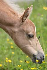 Smelling on a Buttercup Flower (winkler.roger) Tags: horse animal colt foal americanquarterhorse domesticaanimal