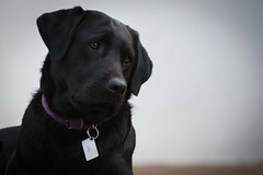 Sail (Mab.B) Tags: dog black nikon labrador negro can perro ojos patas perros animales mascotas profundidaddecampo airelibre nikond3200 expresin expresion amigofiel cuatropatas