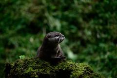 Otter-20160623-26s (Fatcat Al) Tags: en alan district derbyshire centre peak chapel le short frith otter chestnut castleton clawed minnis
