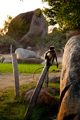 Hanuman Langur sitting on a Post (Timor Kodal) Tags: trees light summer india rock monkey daylight ancient post path sunny ape indians karnataka available hampi vijayanagar felsen pfad