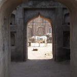 "Cow in Temple <a style=""margin-left:10px; font-size:0.8em;"" href=""http://www.flickr.com/photos/14315427@N00/6776532212/"" target=""_blank"">@flickr</a>"