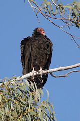 Turkey Vulture in tree (Alan Vernon.) Tags: california county wild tree nature animals turkey colorado desert wildlife birding imperial vulture birdwatching aura avian saltonsea unit salton cathartes specanimal wister alanvernon copyright2012alanvernon