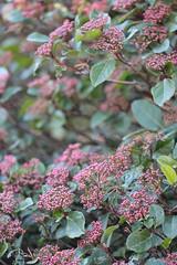 pink bushes (Cozy Memories) Tags: flowers winter plants france nature montpellier botanicalgarden jardindesplantes february2012