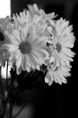 Happy flowers for happy times (not siskel) Tags: blackandwhite stilllife daisies