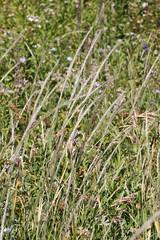 2011.09.18_16.07.43_IMG_6233 (AndreyZharkikh) Tags: columbiana stipa nelsonii achnatherum