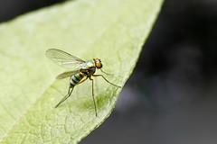 Stilt Fly (Thystyn) Tags: fly longlegs stiltfly february2012 technicolourfly