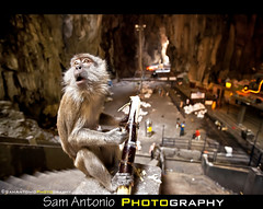 The Batu Caves Stink...Really Stink! (Sam Antonio Photography) Tags: dedication monkey asia southeastasia god wildlife ceremony smell malaysia cave kualalumpur spirituality hindu kl batucaves selangor traditionalculture stench wideanglelens animalportrait travelphotography hindugod malaysiatravel canon5dmarkii batucaveskualalumpur samantonio samantoniophotography samantoniophotographycom thaipusam2012 batucavesstink travelfishkualalumpur daytripfromkualalumpur samantoniocom visitingthebatucaves batucavesdaytrip batucavesphotography batucaveblog photographingthebatucaves
