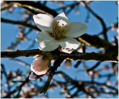 Mandorlo (PicM@) Tags: flower primavera flora natura fiori mandorlo fioritura