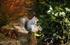 Its all in the balance (Al JC) Tags: nature scotland squirrel fife dunfermline pittencrief