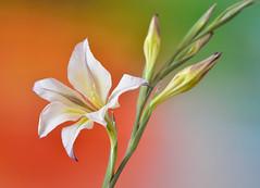 Primavera (Javier_Lpez) Tags: naturaleza flower macro flora nikon flash flor artificial estudio tamron javier fondo elx elche macrofotografa lpez strobist d7000 javierlpez