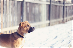 Winter sun (i ea sars) Tags: winter portrait rescue dog pet snow cold macro dogs nature face weather animal canon fence puppy fun nose snowflakes 50mm mutt eyes puppies gate funny thought dof emotion bokeh shepherd snowy expression pastel hiver side profile young thoughtful ears pitbull perro hund thinking boxer pro 5d nik invierno snowing doggy shelter creature adopted adopt playful zima mascota rescued pes petrait canon50mm canonef50mmf14usm   pejsek  efex canoneos5dmarkii 5dmarkii 5dii 5dmkii canoneos5dmkii highqualitydogs