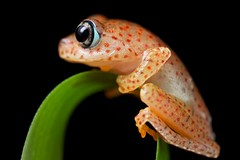 Polk-a-dot frog (Boophis sp.) (pbertner) Tags: