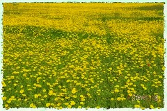 Ocean of Crown Tickseed (stevenpng) Tags: yellow texaswildflowers christlutheranchurch guadalupecounty crowntickseed coreopsisnuecensis capturenx2 nikcolorefexpro3 nikongp1 nikond300s