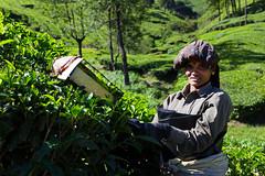 A girl with model cheekbones (Kerala, India 2012) (slawekkozdras) Tags: travel portrait woman india green girl beautiful face work tea kerala hills plantation munnar teapicker