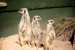 IMG_7695 (Peter Black2007) Tags: zoo meerkat twycross