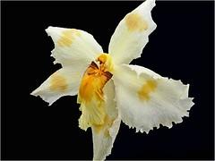 Orchid Paradise Newton Abbot Devon (Cornishcarolin. Just moved house!! BUSY!!! xxxxxx) Tags: flowers orchids devon newtonabbot aboutyou wearefree orchidparadise mamasbloomers themidnightcrew aardvarksandartichokes thisphotomakesmefeel flowersgloriousflowers thetrinityofbooya