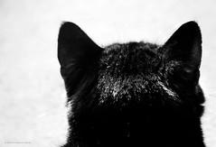 49/366 - I Love Cat Ears. (Sair Jane) Tags: blackandwhite bw cat canon blackcat feline head ears canon350d behind