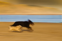 Panning for gold (izzy's-photos) Tags: sea toby dogs river lucy sand blueline estuary cairnterrier aberdovey dovey gordonsetter aberdyfi ynyslas dyfi blinkagain