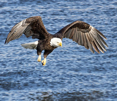 Eagle Wingspan (w4nd3rl0st (InspiredinDesMoines)) Tags: winter food fish detail bird nature water canon river mississippi landscape freedom flying amazing fishing close natural eagle symbol screensaver fierce outdoor wildlife flight baldeagle iowa talon raptor restore 7d mississippiriver hunter prey migration capture population graceful 2012 spectacle computerdesktop catchingfish 100400 perfectlight leclaire 1585 baldeaglefishing baldeagleflying lockanddam14 ld14 eaglewallpaper