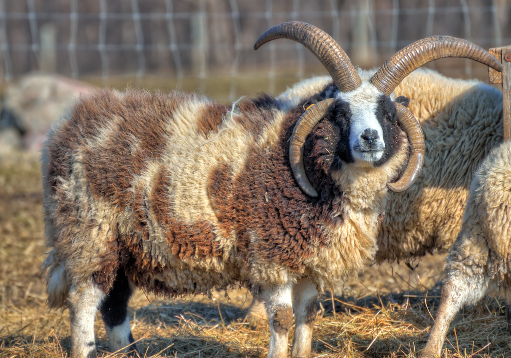 Four-horned Jacob Sheep