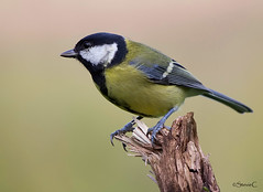 The Major (StevieC-Photography) Tags: bird nature canon wildlife greattit parusmajor lochwinnoch 60d steviec avianexcellence