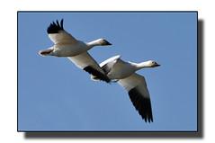 Two More (Hold still) Tags: birds wetlands squawcreek nikond90 afsnikkor70300mm wintermigration adobephotoshopelements6 moundcitymissouri