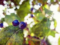 Blueberrish (malin j a) Tags: italy sun rome roma tree canon bokeh g11 bluberries malinja