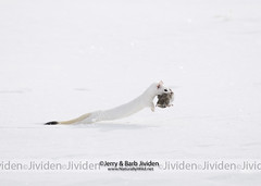 """Slick as a Weasel - Part 2,"" by Jerry & Barb Jividen (Jerry & Barb Jividen) Tags: shorttailedweasel mustelaermine ermine white wintersnow animal animals vole predator prey erminewithvole erminerunning ermineinsnow yellowstonenationalpark yellowstone jerryjividen barbjividen nikon artprints commercial image images picture pictures photo photos photography stockphoto stockphotos stockphotography nature wildlifeeducation wildlifeconservation wildlifephotography environmentalphotography ecosystem imagesunique imagesuniquecom naturallywildnet fileweaseljlj4070"