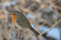 83 11th Feb, Kennet and Avon Canal, nr Newbury (Mark Baker.) Tags: uk winter england bird nature robin birds canal photo baker mark wildlife central southern photograph british berkshire kennetandavon newbury 2012 picsmark
