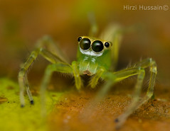 Salticidae (Zeen.) Tags: portrait green nature spider jumping eyes nikon natural spiders arachnid arthropod zeen hussain salticidae hirzi