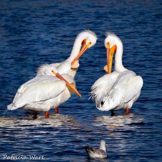 Their beak's flattened