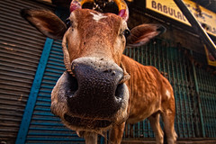 The nosey model on the street (Sukanta Maikap Photography) Tags: morning cow bangalore avenueroad bengaluru canon450d tokinaatxprosd1116mmf28ifdx