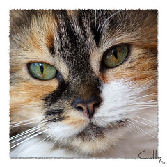 Cally wants to give you a kiss :) (Explored) (hehaden) Tags: white macro face cat square kitty tortoiseshell tortie longhaired bestofcats