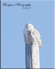 MG2_7119wm (jmthompsonphoto) Tags: southdakota snowy pierre raptor owl 2012 bubo irruption scandiacus thewonderfulworldofbirds photocontesttnc12