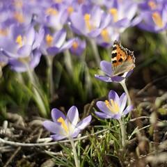 diving into a flower... (martinalinnea) Tags: flowers butterfly 50mm spring crocus blommor aglaisurticae smalltortoiseshell krokus nsselfjril fjril f17 alafors dslra300 butterflytuesday mygarden2012 lebrcke lebrckevgen