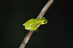 Cooloola sedgefrog (Born in Borneo) Tags: reed greenfrog cooloola sedgefrog
