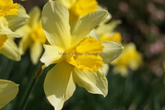 DSC01177 (Mark Coombes Photography) Tags: flower yellow spring daffodil